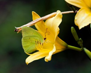 The butterflies thrust themselves deeply into the throats of the flowers of our Autumn Daffodil daylilies.