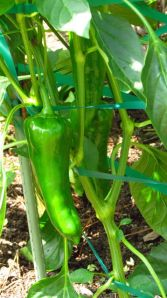Carmen Sweet Italian peppers grow longer each day, but no signs of ripening yet.