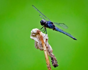 This dragonfly appears to be made of lapis lazuli, or perhaps sapphire.