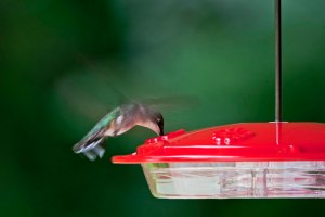 A Sky Jewel grabs a quick drink from the feeder that I keep supplied with fresh fuel.
