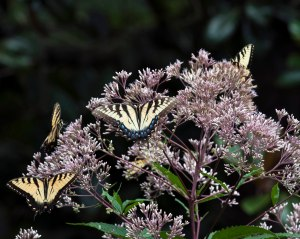 Swallowtail butterflies mobbing the Joe Pye Weed.