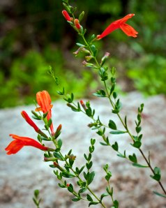 The sage-family-like flowers are a bright orange-red.