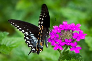 A Spicebush Swallowtail enjoys the ever-blooming Verbena 'Homestead Purple.'