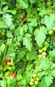 Sweet Treats cherry tomatoes finally developing ripe fruits.
