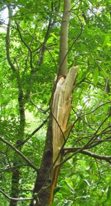 The Ash ripped off one of the trunks of the twin-trunked Sweet Bay Magnolia.
