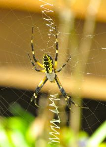 Female Writing Spider awaits her next victim.
