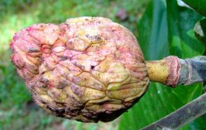 Big-leaf Magnolia cone