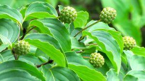 Cornus kousa fruits will redden soon.