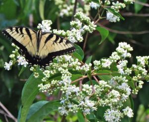 An Eastern Tiger Swallowtail enjoys the Seven Sons Tree.