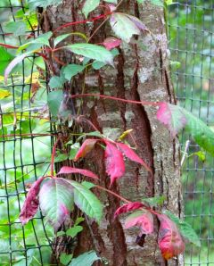 Virginia Creeper vine