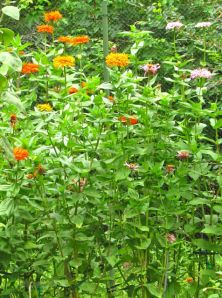 I am in love with these old-fashioned zinnias that have grown taller than me by at least a foot.