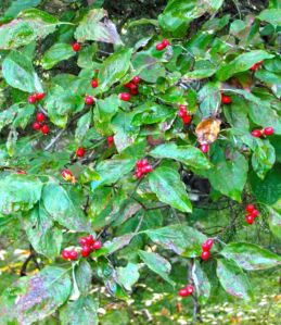 Cornus florida berries won't last long; my pileated woodpeckers adore them.