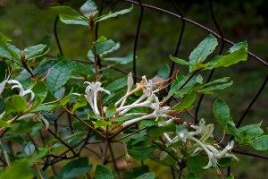 Rhododendron serrulatum