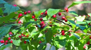Ilex verticillata berries ornament a still-green shrub.