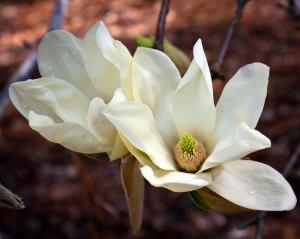 Magnolia 'Elizabeth' flowers