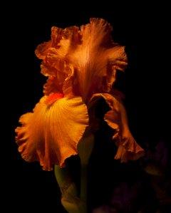 Bearded iris drama shot