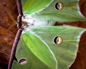 Luna Moth close-up