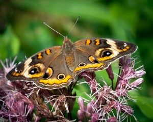 Buckeye butterfly on Joe Pye Weed