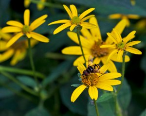 These yellow sunflower-family members have a faint sweet scent that seems to draw  a diverse array of pollinators.
