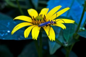 A Firefly enjoys one of the abundant yellow composite wildflowers blooming in our yard.