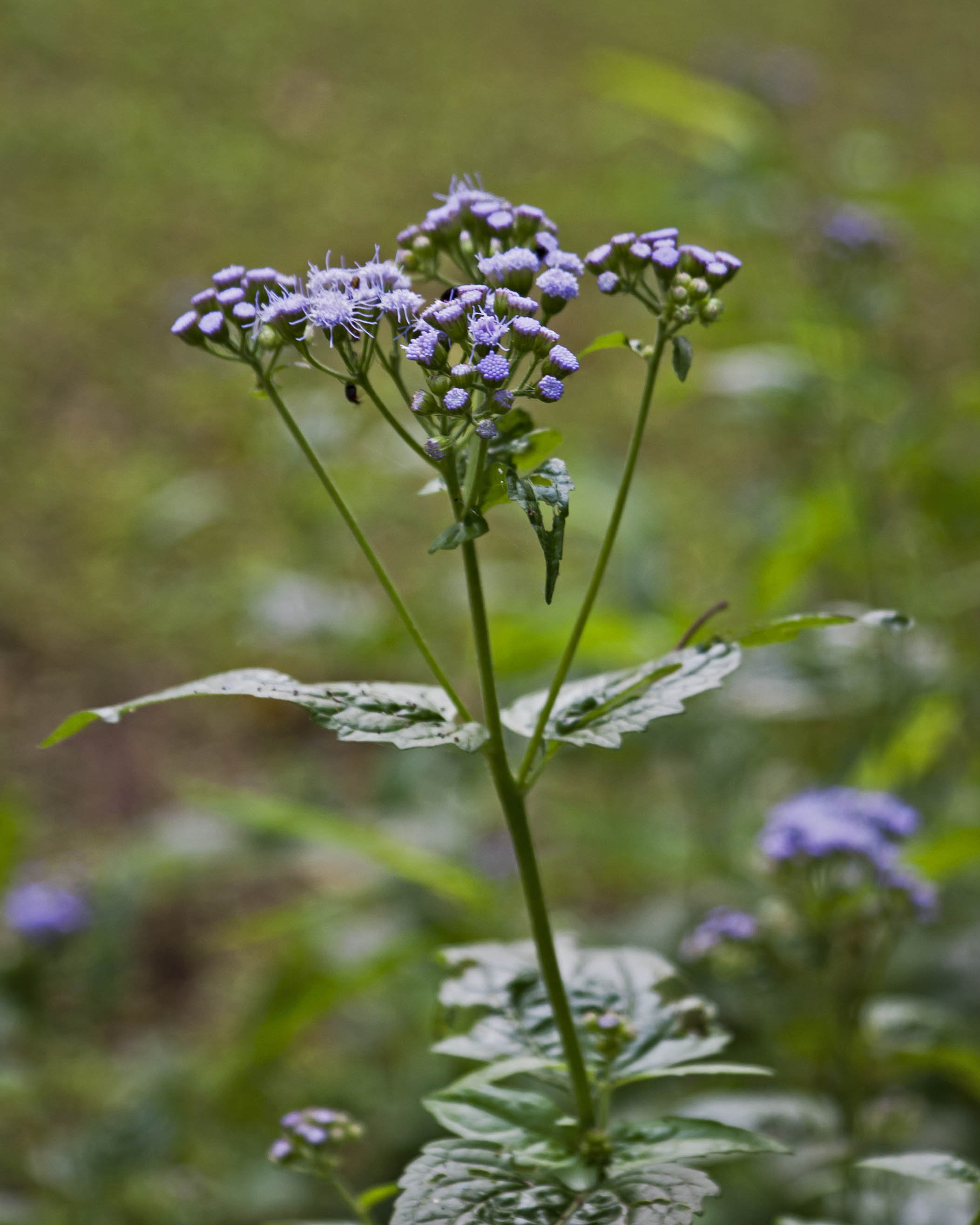 Blue mistflower piedmont gardener a profile shot to give you a sense of how it looks in the landscape izmirmasajfo
