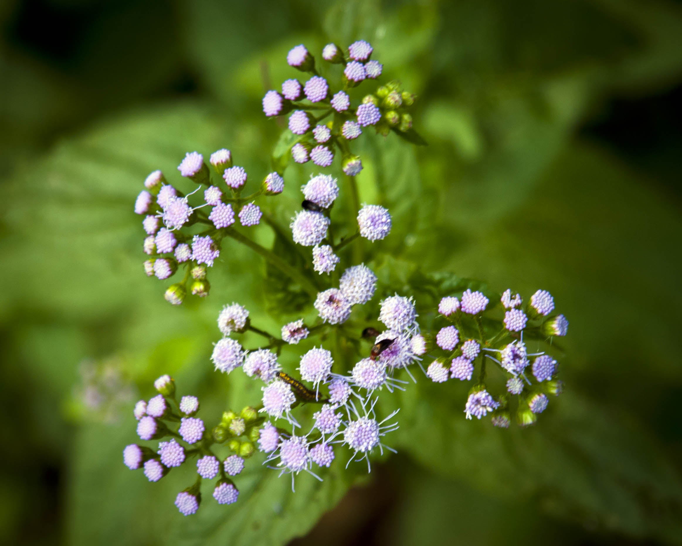 Blue mistflower piedmont gardener a top view to show its popularity with insects izmirmasajfo