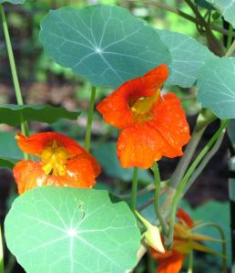 Never have the nasturtiums displayed such prolonged enthusiasm.