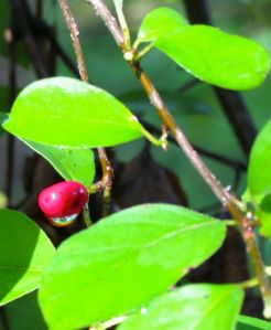 One lonely spicebush berry hidden deep within the shrub.
