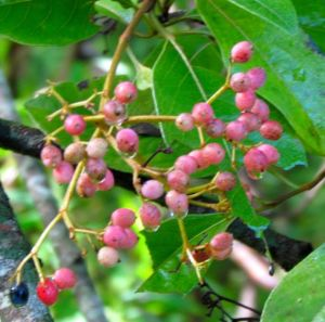 Viburnum prunifolium fruits go pink, then deep purple, but you don't see many purples, thanks to hungry birds.