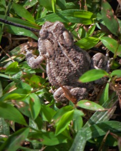 An American Toad didn't appreciate our accidental intrusion into his territory.