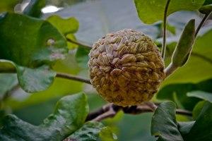 Magnolia macrophylla seed cone