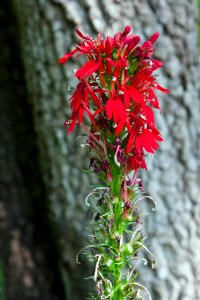 The deep scarlet of a Cardinal Flower contrasts with the gray tree trunk behind it.
