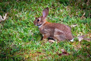 The Eastern Cottontail clan had a productive year, thanks to our abundant rainfall.