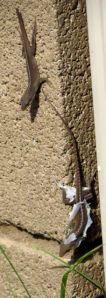 Another anole seemed interested in the shedding process of his garage-mate.