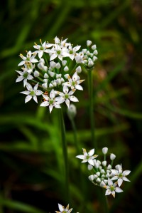 Ornamental and tasty Garlic Chives