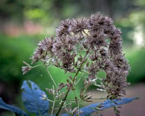 Joe Pye Weed seed head