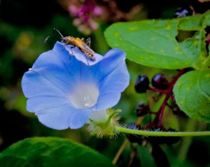 A firefly rests on a volunteer Morning Glory.