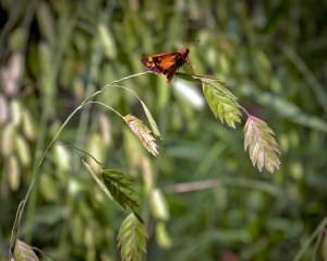 The butterfly is some kind of skipper, I think. I'm not good at identifying them.
