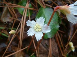 Shortia galacifolia var. brevistyla