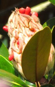 Scarlet fruits of the Southern Magnolia are irresistible to wildlife.