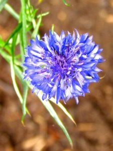 Cornflower 'Blue Boy'