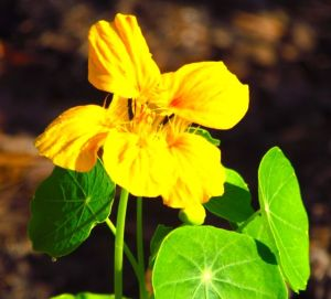 Nasturtium 'Cup of Sun'. Both varieties make lovely little cut flower arrangements, preferably in smaller rooms, where their subtle fragrance can be appreciated.
