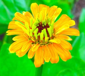 A more typical zinnia form.