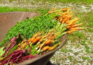Root crop harvest on June 23, 2013