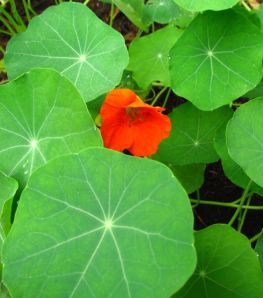 Nasturtium 'Spitfire' was almost terrifyingly productive.