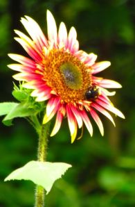 A more obviously bi-colored Sunflower 'Royal Flush Bi-Color'