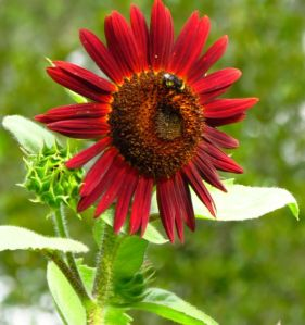 Sunflower 'Royal Flush Bi-Color'