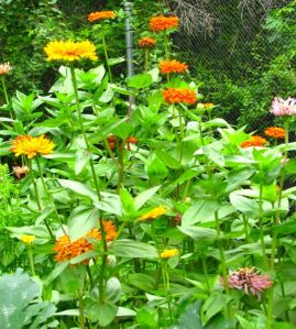 My zinnia patch on July 10.