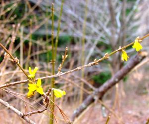 A few precocious forsythia flowers