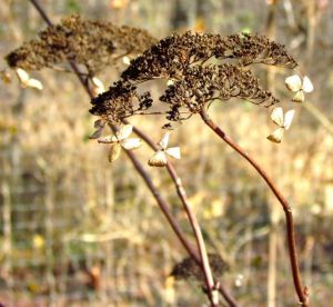 A dried hydrangea flower blends into the brown and gray winter landscape.